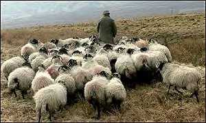 Sheep in the Cumbrian hills